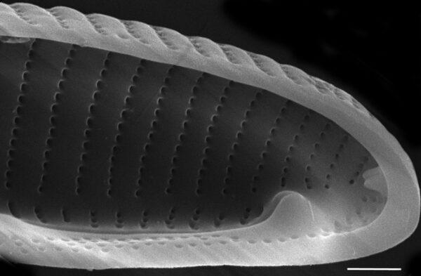 Eunotia papilioforma SEM4