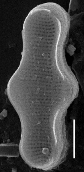Achnanthes inflata SEM2