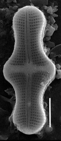 Achnanthes inflata SEM3
