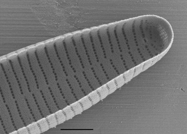 Fragilariforma nitzschioides SEM3
