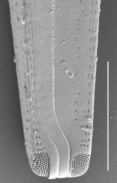 Gomphonema californicum SEM2