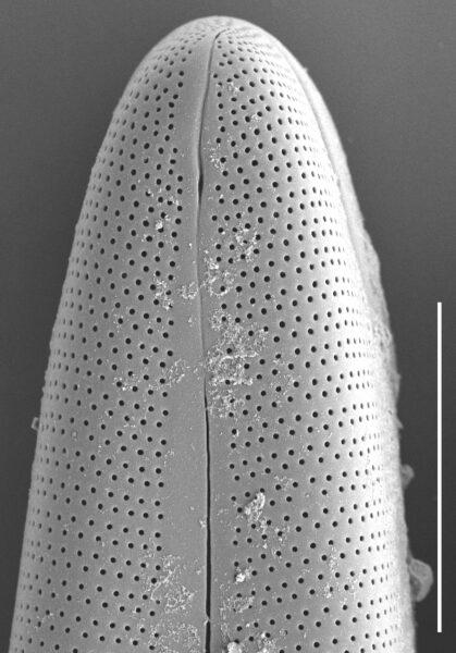 Gomphoneis oreophila SEM2