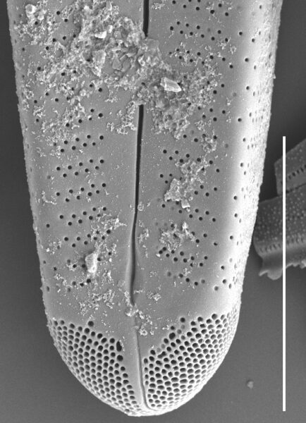 Gomphoneis oreophila SEM3