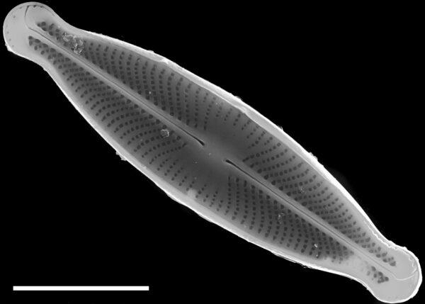 Sellaphora subfasciata SEM1