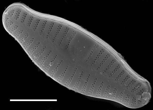 Planothidium biporomum SEM1