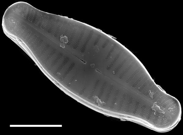 Planothidium biporomum SEM2