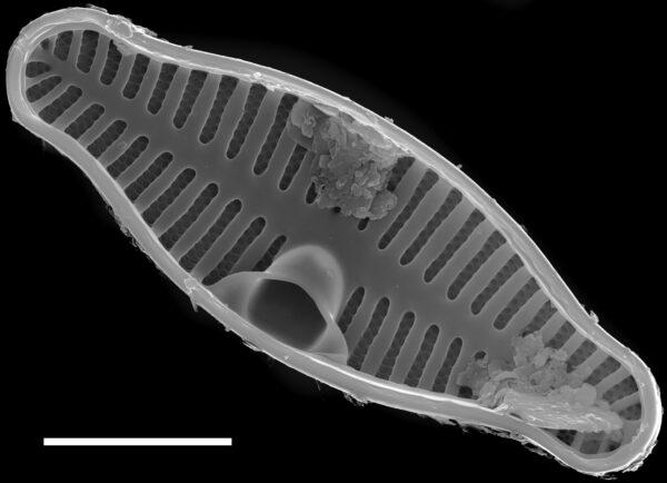 Planothidium biporomum SEM3