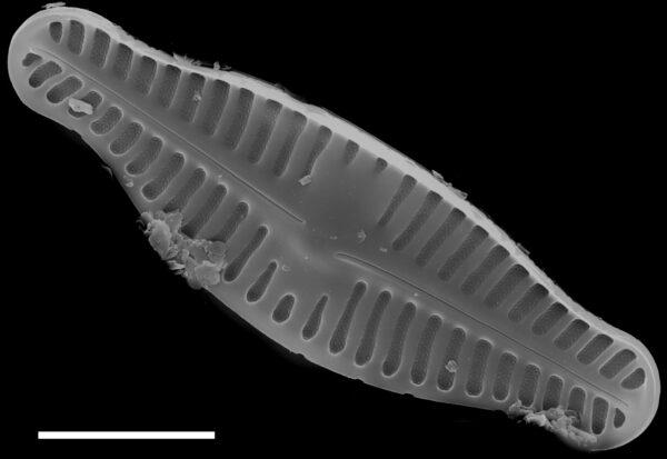 Planothidium biporomum SEM4