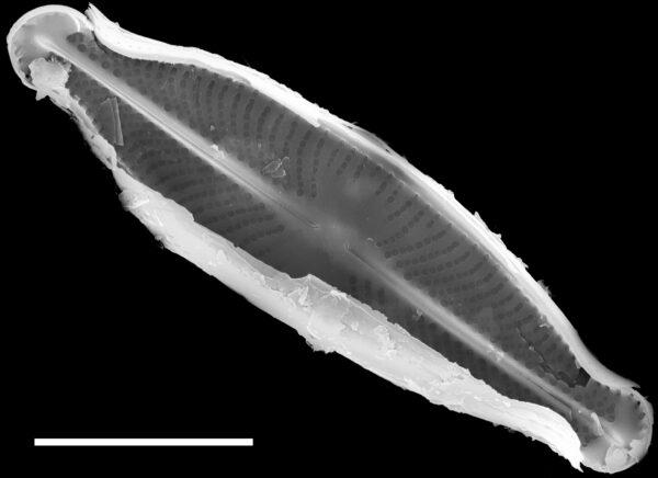 Sellaphora subfasciata SEM2