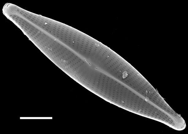 Navicula germainii SEM1