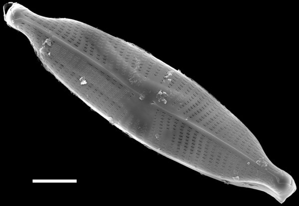 Navicula rostellata SEM1