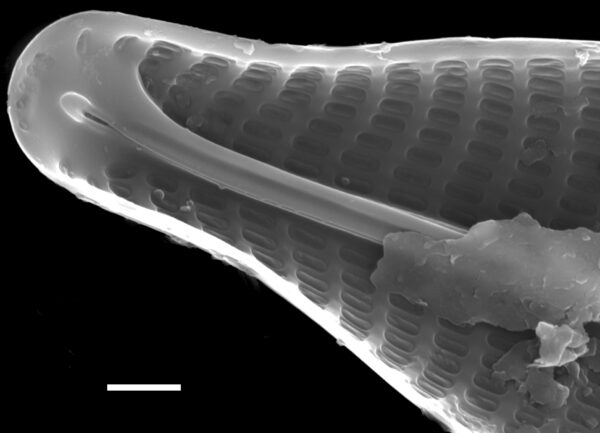 Navicula germainii SEM3