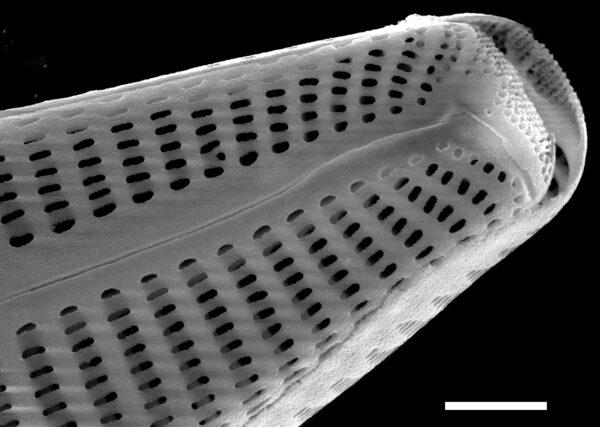 Cymbella subturgidula SEM3