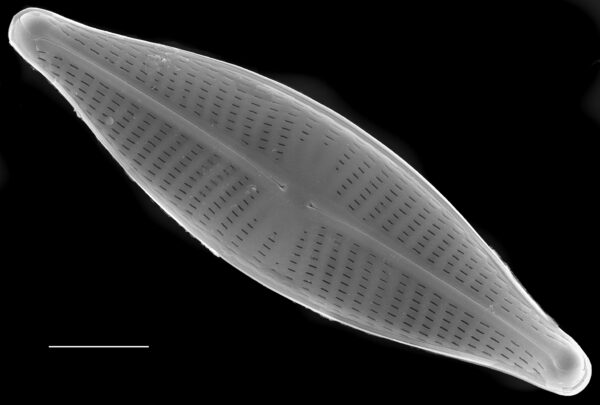 Navicula cryptocephala SEM1