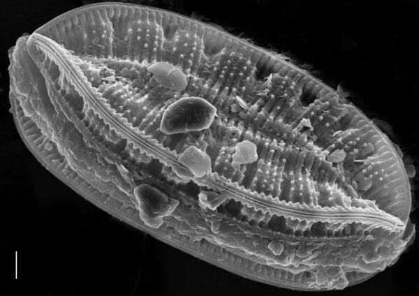 Surirella amphioxys SEM1