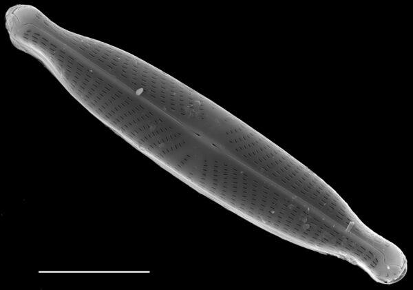 Navicula longicephala SEM1
