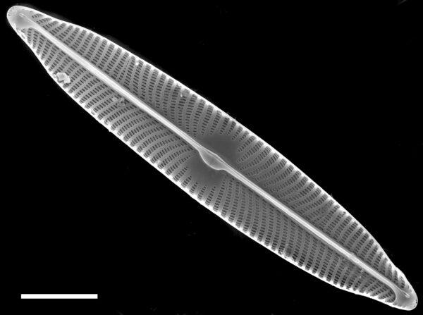 Navicula viridulacalcis subsp neomundana SEM1
