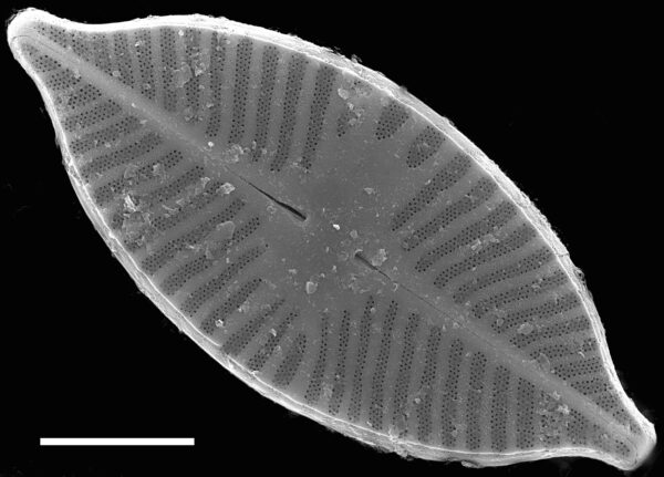 Planothidium apiculatum SEM1
