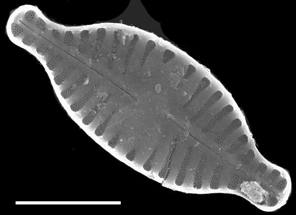 Planothidium rostratum SEM1