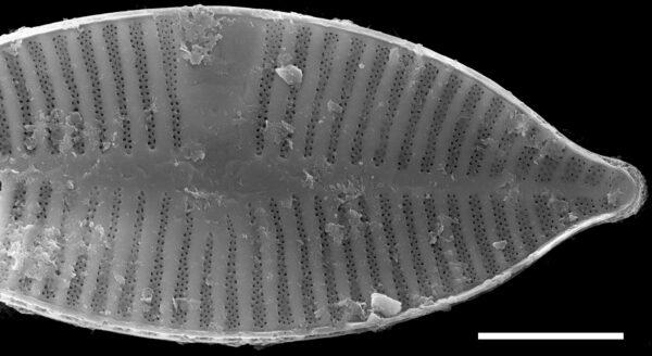 Planothidium apiculatum SEM2