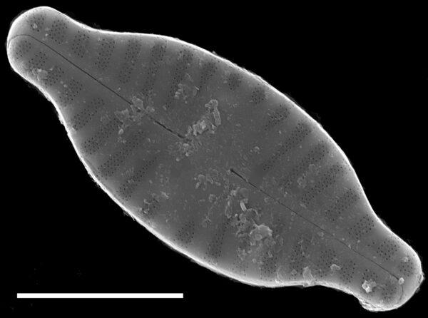 Planothidium rostratum SEM4