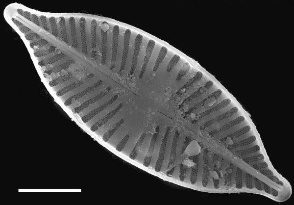 Planothidium apiculatum SEM3