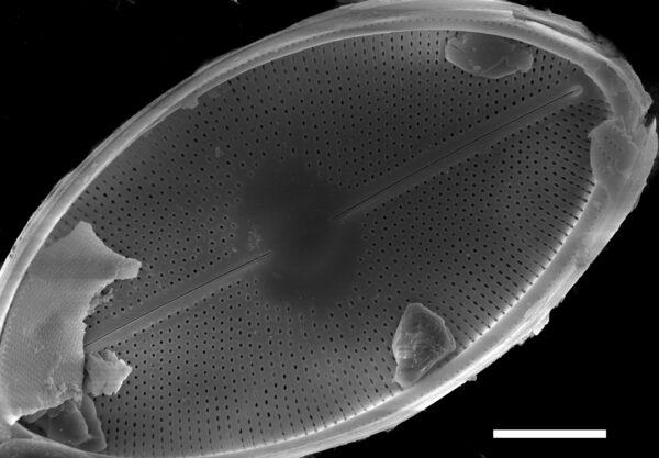 Cavinula maculata SEM2