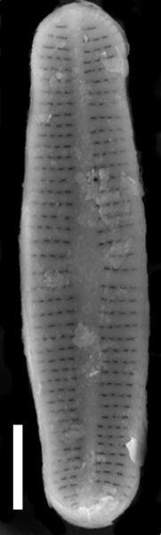 Achnanthidium duthiei SEM2