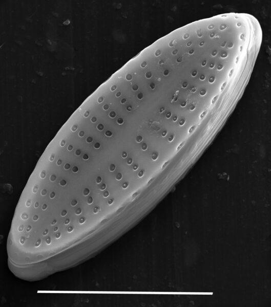 Achnanthes subhudsonis var kraeuselii SEM3