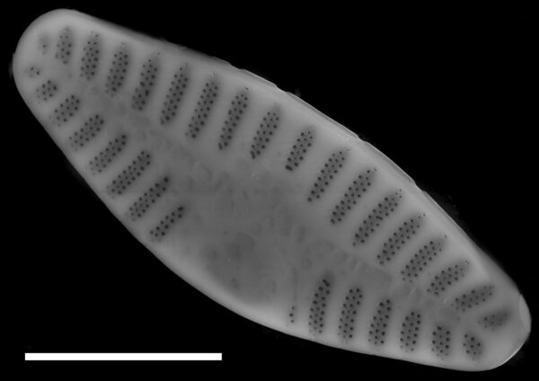 Planothidium lanceolatum SEM1
