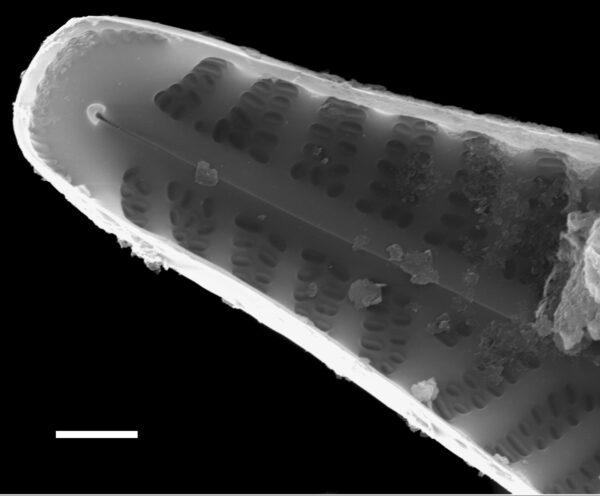 Hippodonta capitata subsp iberoamericana SEM3