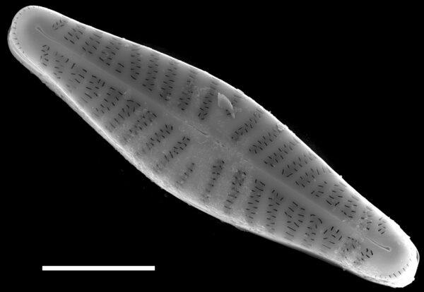 Hippodonta capitata subsp iberoamericana SEM4