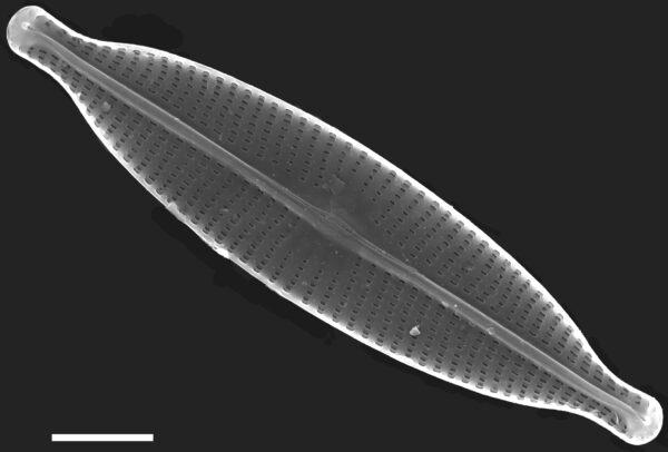 Navicula subrhynchocephala SEM4
