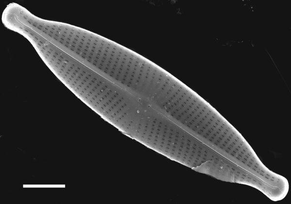 Navicula subrhynchocephala SEM6