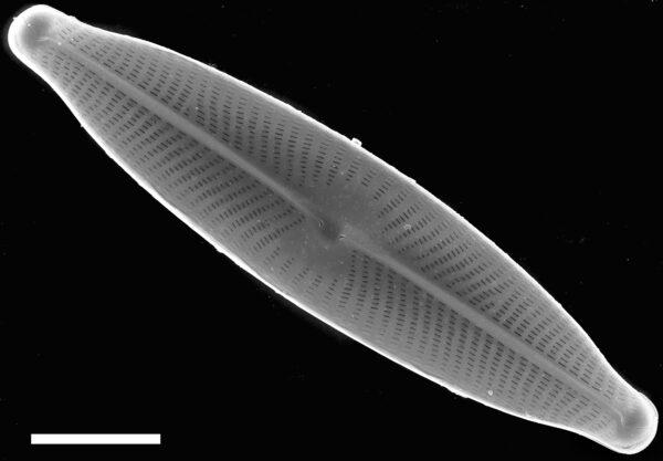 Navicula viridula SEM1