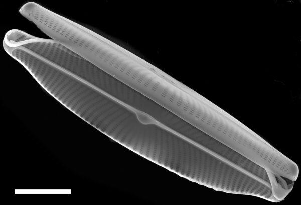 Navicula viridula SEM2