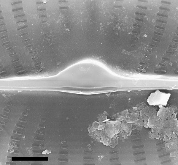 Navicula viridula SEM3