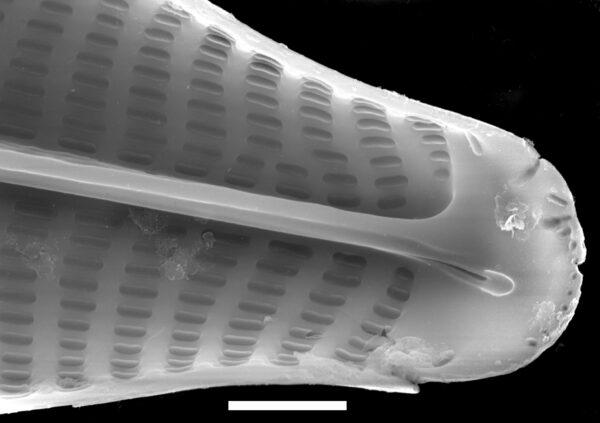 Navicula viridula SEM4