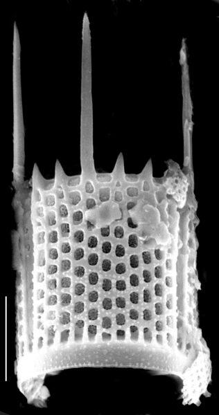 Aulacoseira granulata SEM5