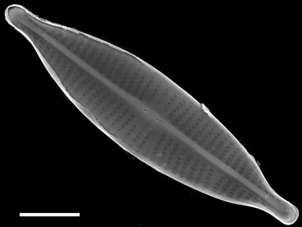 Navicula subrostellata SEM1