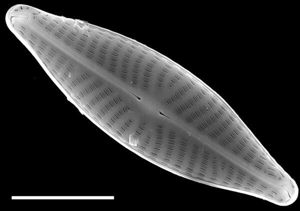 Navicula reichardtiana SEM1