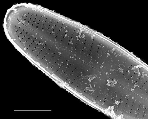 Achnanthidium kranzii SEM4