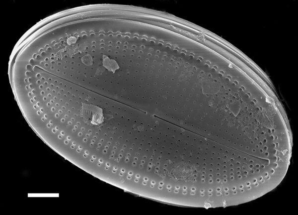 Cocconeis fluviatilis SEM1