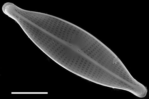 Navicula gregaria SEM1