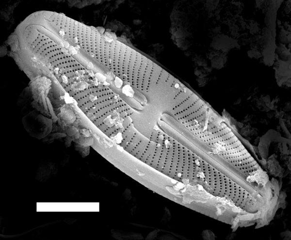Sellaphora rexii SEM1