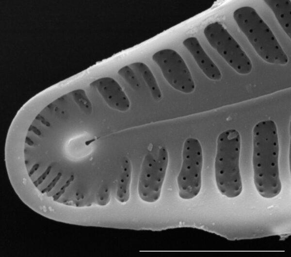 Gomphosinica geitleri SEM2