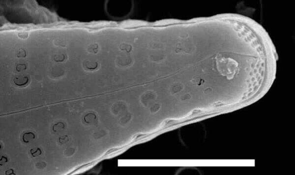 Gomphonema consector SEM1