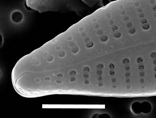 Gomphonema consector SEM2