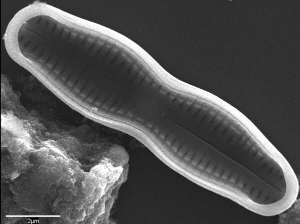 Humidophila undulata SEM2
