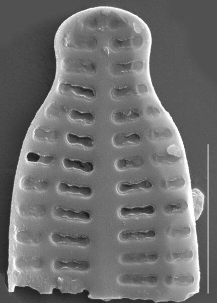 Karayevia nitidiformis SEM1